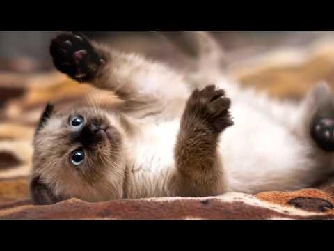 Photos of my cat breed Siamese