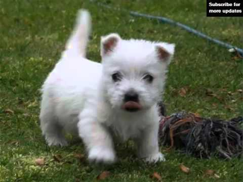 Set Of Cute Dogs Pictures - Dog Terrier West Highland White