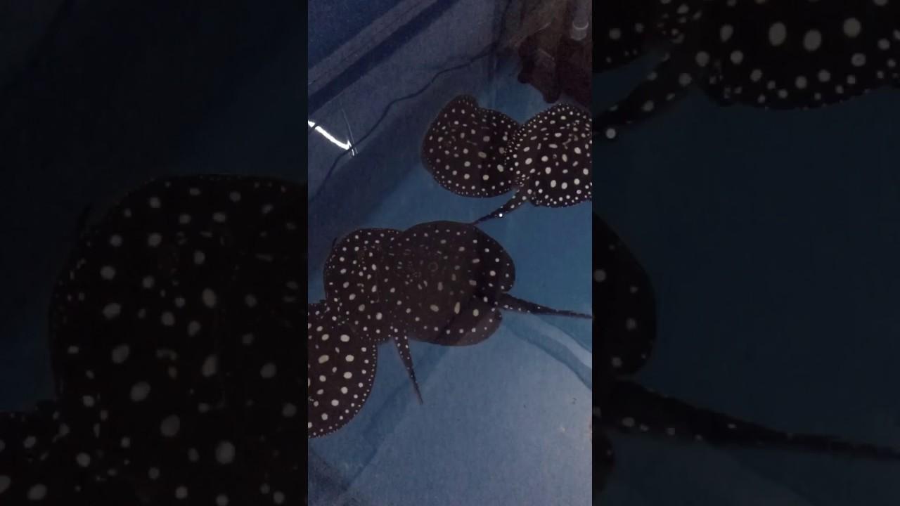 Trại cá sam sài gòn – sam black diamond | cá cảnh Lucky