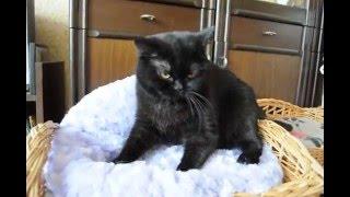 Британская черная кошка в питомнике British House