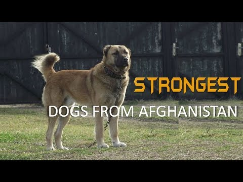 Five Dangerous and Strongest Dogs from Afghanistan