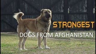 Five Strongest Dogs from Afghanistan