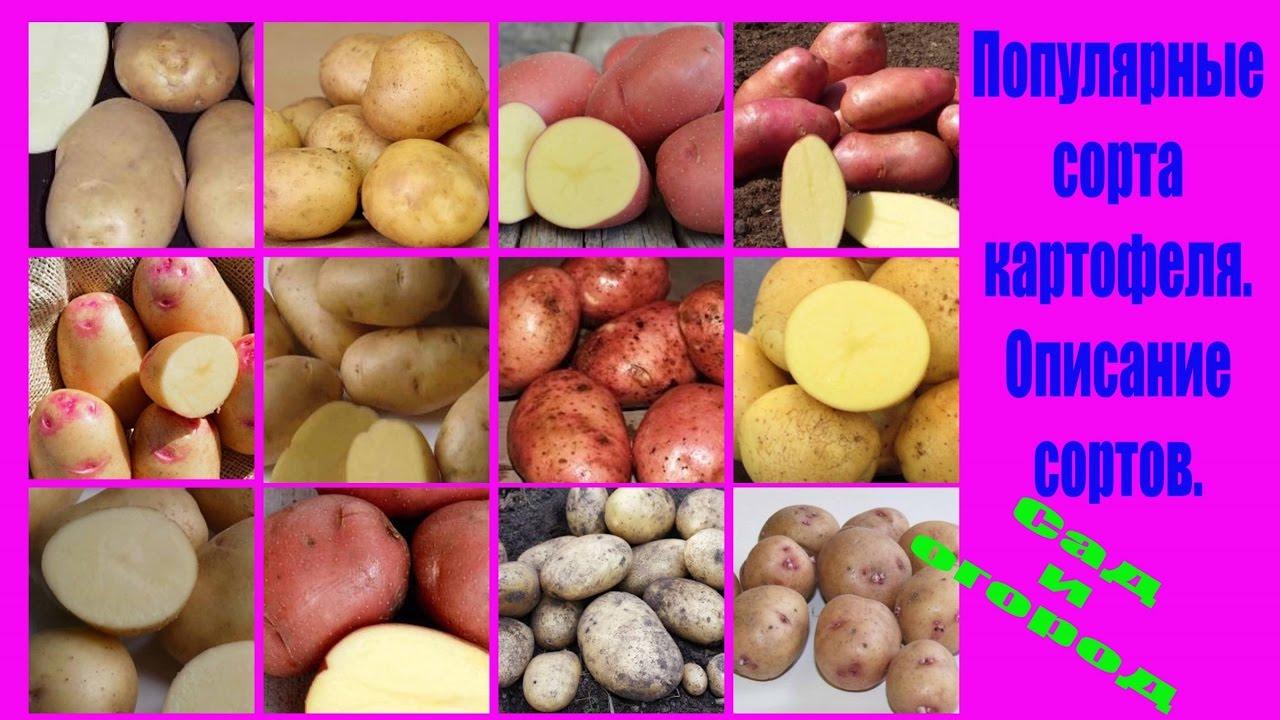 сорта картофеля фото и описание выращиваемые в украине