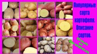 видео Картофель «Уладар» описание сорта, фото, отзывы