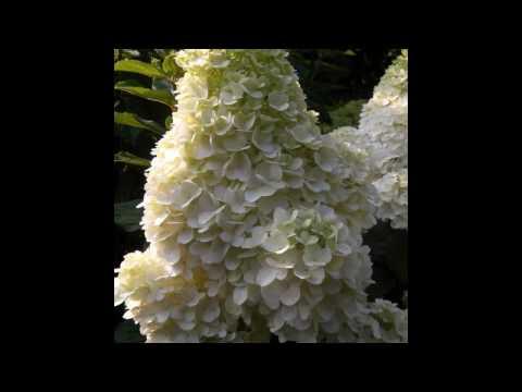 2017 Hydrangea paniculata «Magical Moonlight»