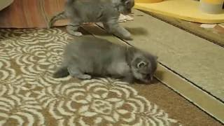 Сибирская кошка. котята. 29 дней.