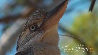 Blue Winged Kookaburra 1/1 HD VIDEO