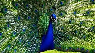 blauer pfau indian peacock hd 1080p