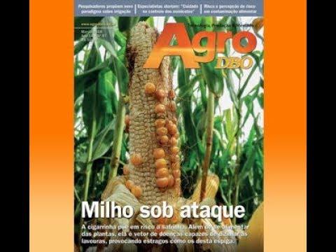 Cigarrinha do milho arrasa plantações Brasil afora