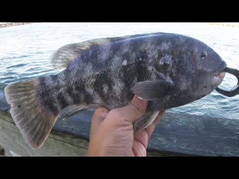 How to tie rigs for tautog fishing doovi for Tautog fishing rigs
