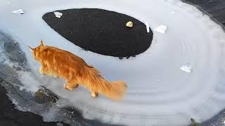 #17 Мейн куны и сибирская кошка - осенняя прогулка, лед