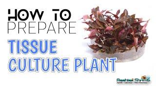 How to Prepare Aquarium Tissue Culture Plants 如何清洗水草