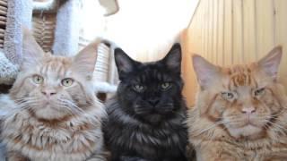 Коты мейн кун.