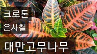 #크로톤 키우기 #대만고무나무 #은사철 #공기정화식물 …