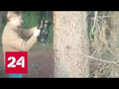 Экологи отмечают нашествие сибирского шелкопряда в Томске