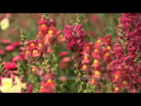 Snapdragon flowers (Antirrhinum majus) in Mughal gardens at Rashtrapati Bhavan