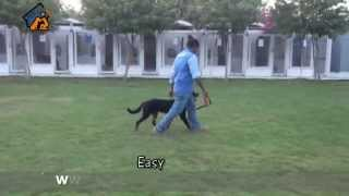 Eastwind Training - Dog Name : Divil