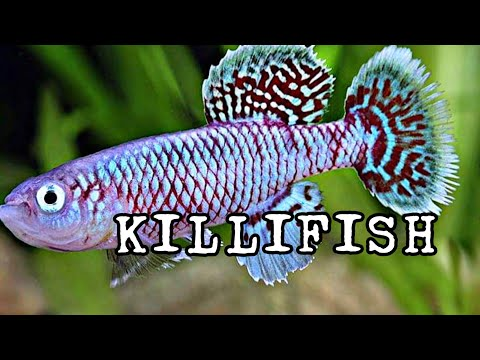 THE KILLIFISH | By Chris Lukhaup