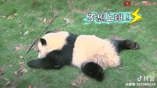 Video Gấu trúc dễ thương, hài hước, khó đỡ - P1