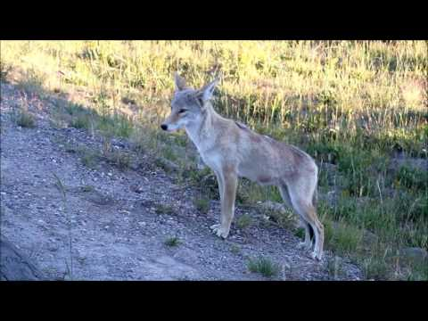 cayote gets mouse then walks up to camera at yellowstone