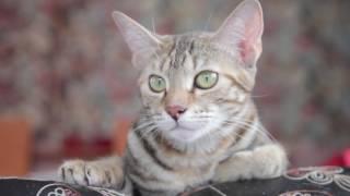 Дорогие Друзья представляю вашему вниманию Кошка породы Соукок!