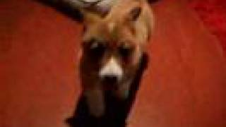 My Lovely Doggies: Pembroke Welsh Corgi (コーギ)and  Miniature American Eskimo