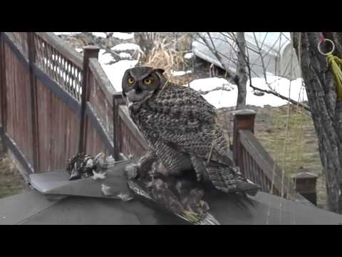 GREAT HORNED OWL EATING ITS  PREY......lakeshoreparadise b@b