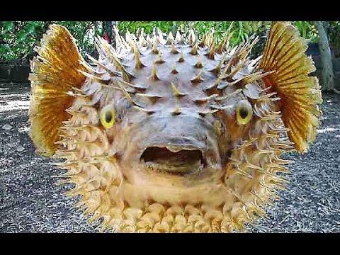 ► Un poisson-hérisson et un poisson-globe qui gonflent comme des ballons !