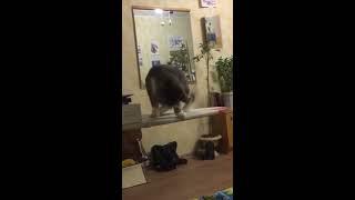 Смешной Котик, ЛУЧШИЕ ПРИКОЛЫ С ЖИВОТНЫМИ 2019 (Начало) Котенок играет, Смешные кошки