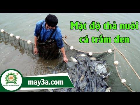 cách nuôi và chăm sóc cá trắm đen