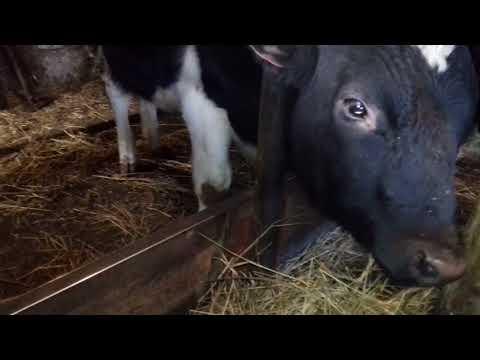 видео: Сарай для бычков.