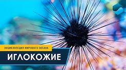 Иглокожие – Энциклопедия Мирового океана