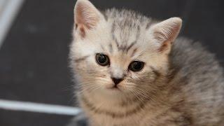 Скоттиш-страйт котенок Scottish straight kitty