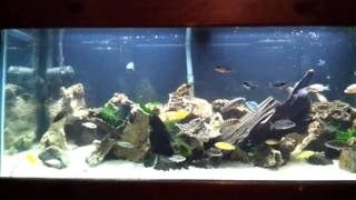 African Cichlids And Driftwood In A 75 Gallon Fish Tank