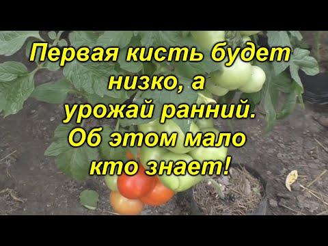 Сделайте это сейчас и Вы будете с ранним урожаем томатов!