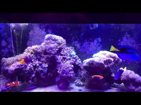 Ecosystems Miracle Mud Refugium In A 75 Gal Tank With Emperor Angelfish And Tangs Update 5