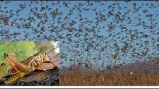 【禁聞】中國多省蝗災 恐面臨糧食危機 湖北襄陽、雲南普洱、廣西桂林、湖南永州等地蝗蟲鋪滿地面 漫天飛舞