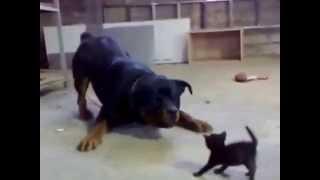 Храбрый котенок стоит до Собака