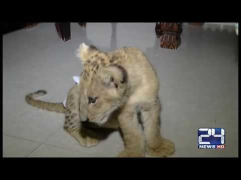 Resident of Karachi owns crocodile and lion as a pet