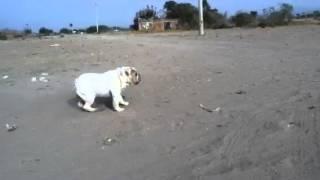Russo Bulldog inglés 9 meses de edad trabajando a la par de