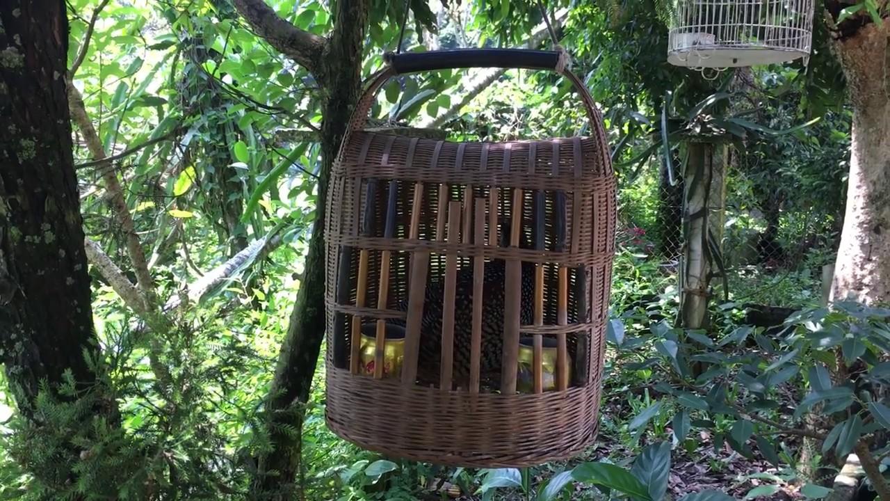 Âm thanh chim mồi – tiếng chim đa đa gáy | Chim hay TV
