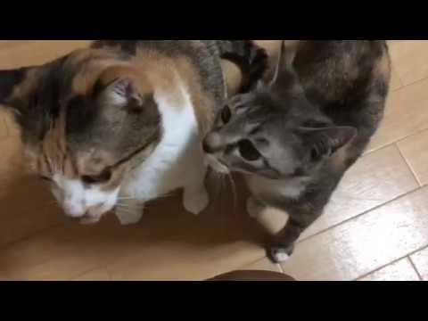 可愛い声でおやつをおねだりする猫の親子