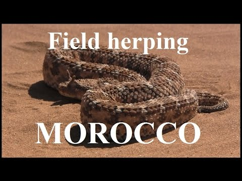 Field herping Morocco, Africa!