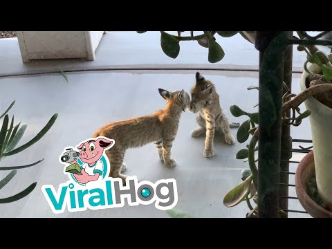 Maxwell - Bobcat Kittens On Your Patio!