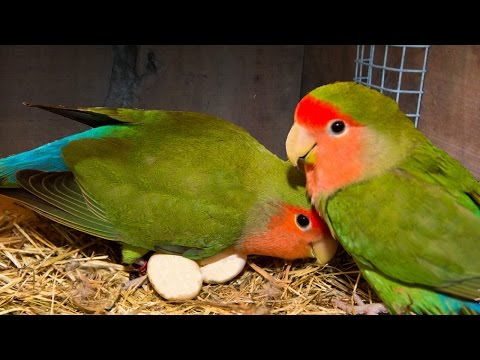 How to breed your lovebirds