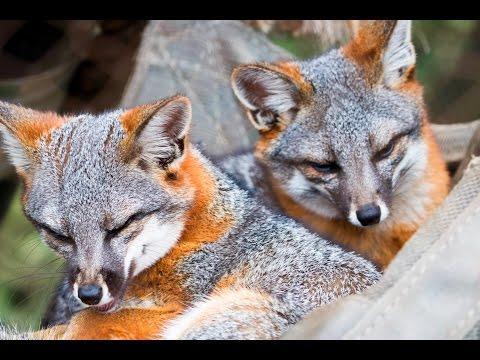 Island Fox Brothers - SANTA BARBARA ZOO