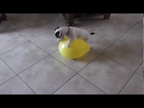 Hera puppy Jack Russell 4 month meets a balloon [HD]