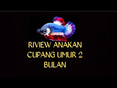 RIVIEW ANAKAN IKAN CUPANG UMUR 2 BULAN - YouTube