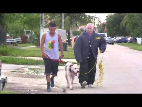 (Part 2)  American Bulldog has lost his mind! RED ZONE DOG BITES THE MIAMI DOG WHISPERER