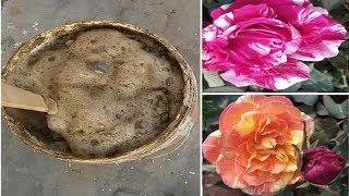 यह Rose Fertilizer डालोगे तो आएंगे हाथ जितने बड़े गुलाब के फूल लोग देखते रह जायेंगे।Suprise Giveaway